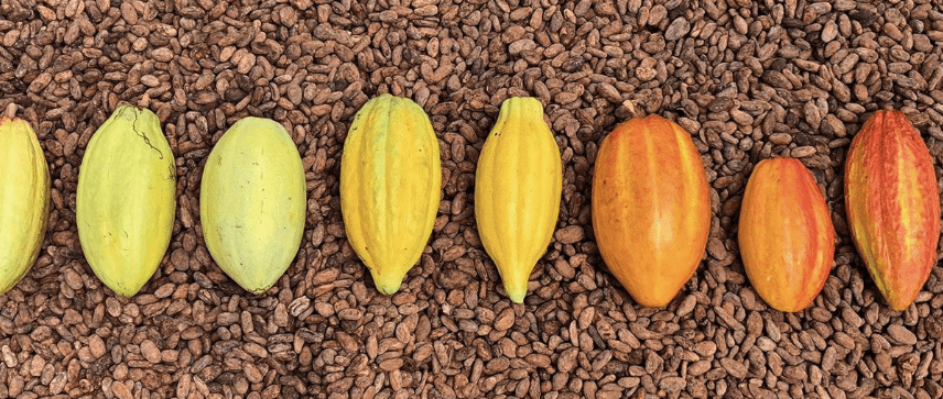 Real Chocolate Pods Seed Plants Beans Artisan Craft Farming